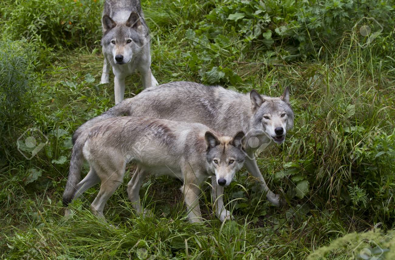 timber wolves canis lupus on rocky cliff in summer stock photo