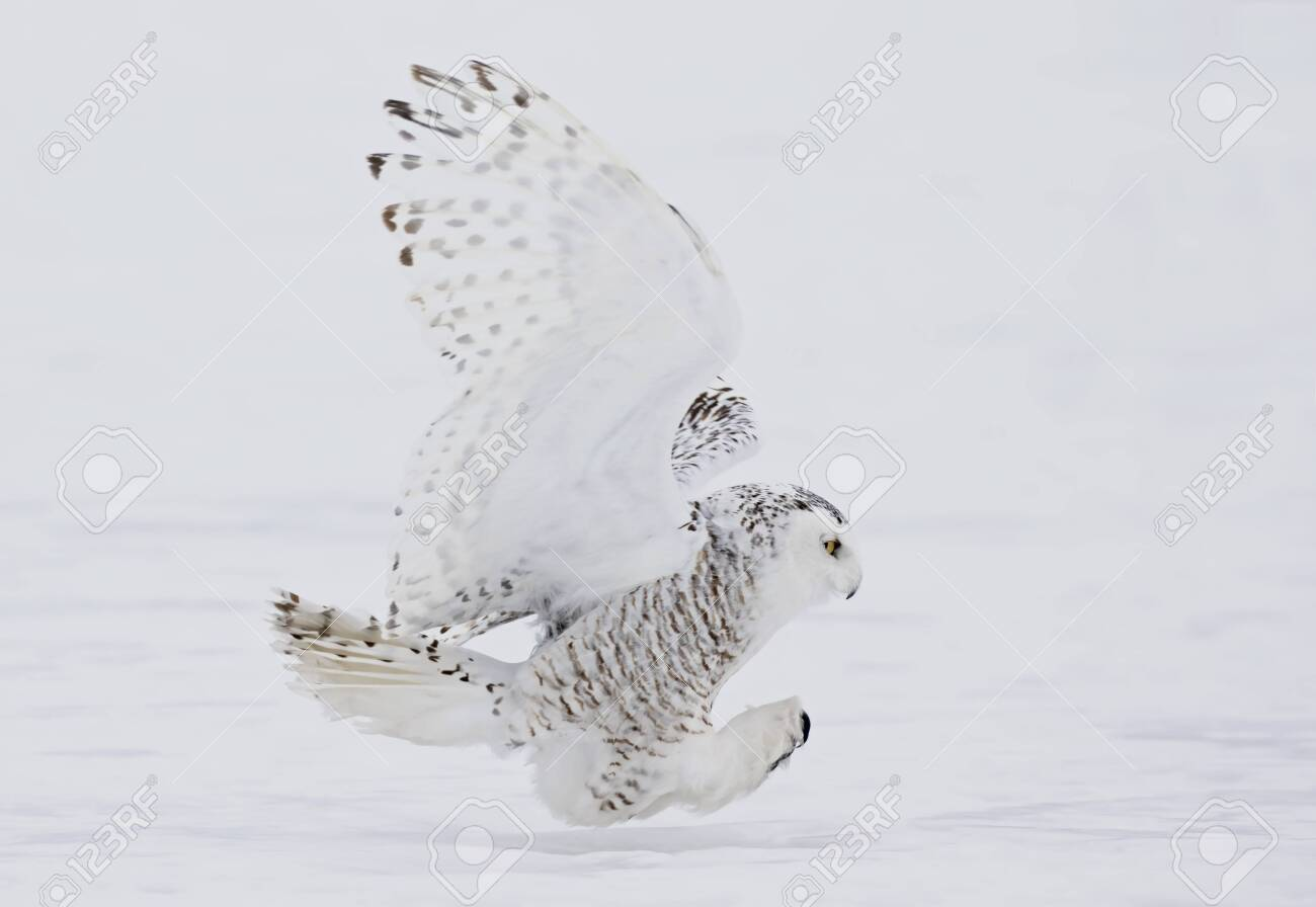 Snowy owl (Bubo scandiacus) closeup isolated on white background about to pounce on its prey on a snow covered field in Ottawa, Canada - 136673840