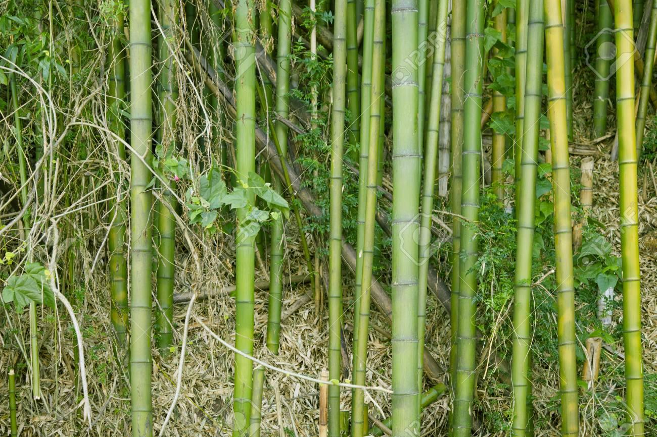 Immagini Stock Esotico Lussureggiante Giungla Di Bambù Verde