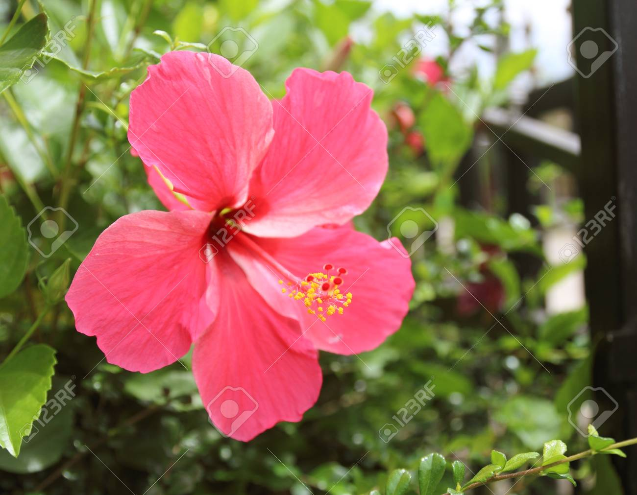 Pink Hibiscus Flower On A Green Background Stock Photo Picture And