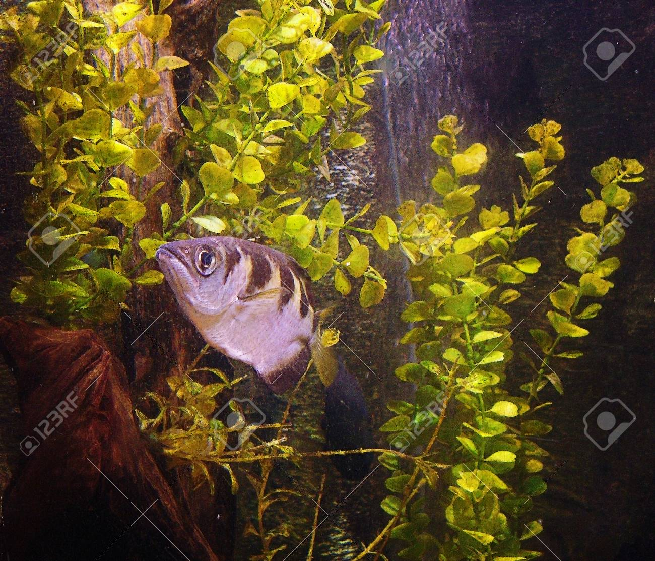 Photo Of A Black And White Striped Small Fish In Aquarium