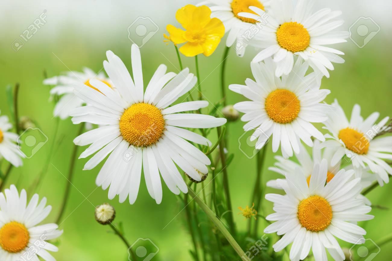 Fleur Des Fleurs De Camomille De Marguerite Belle Scene De La