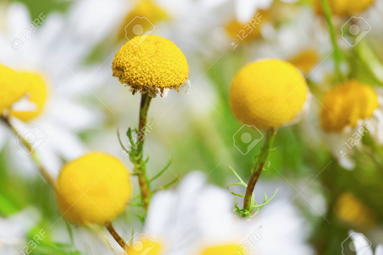 Daisy Camomile Floweramomile Field Flowers Border Beautiful