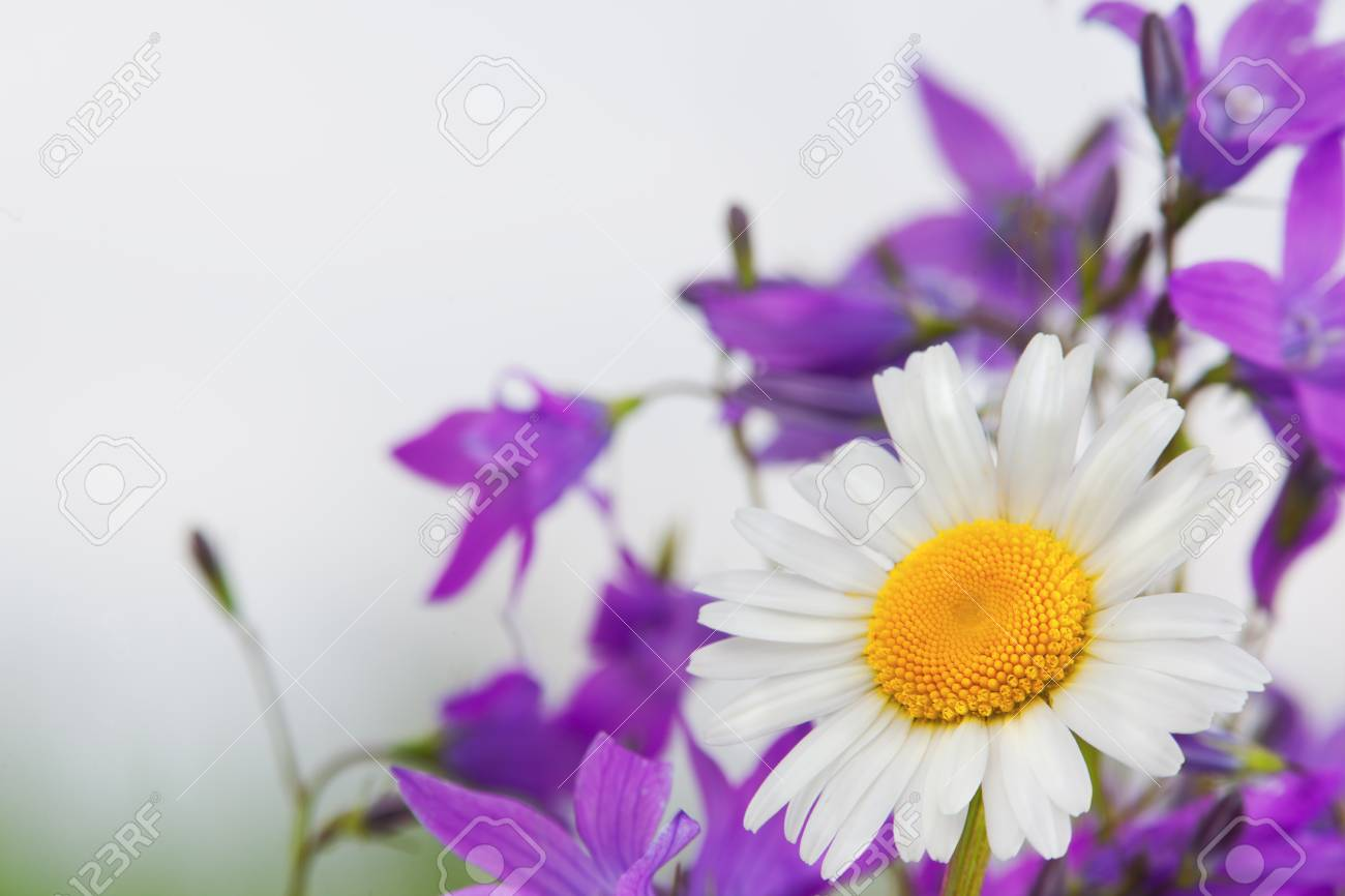 Daisy camomile floweramomile field flowers border beautiful daisy camomile floweramomile field flowers border beautiful nature scenespring daisy izmirmasajfo