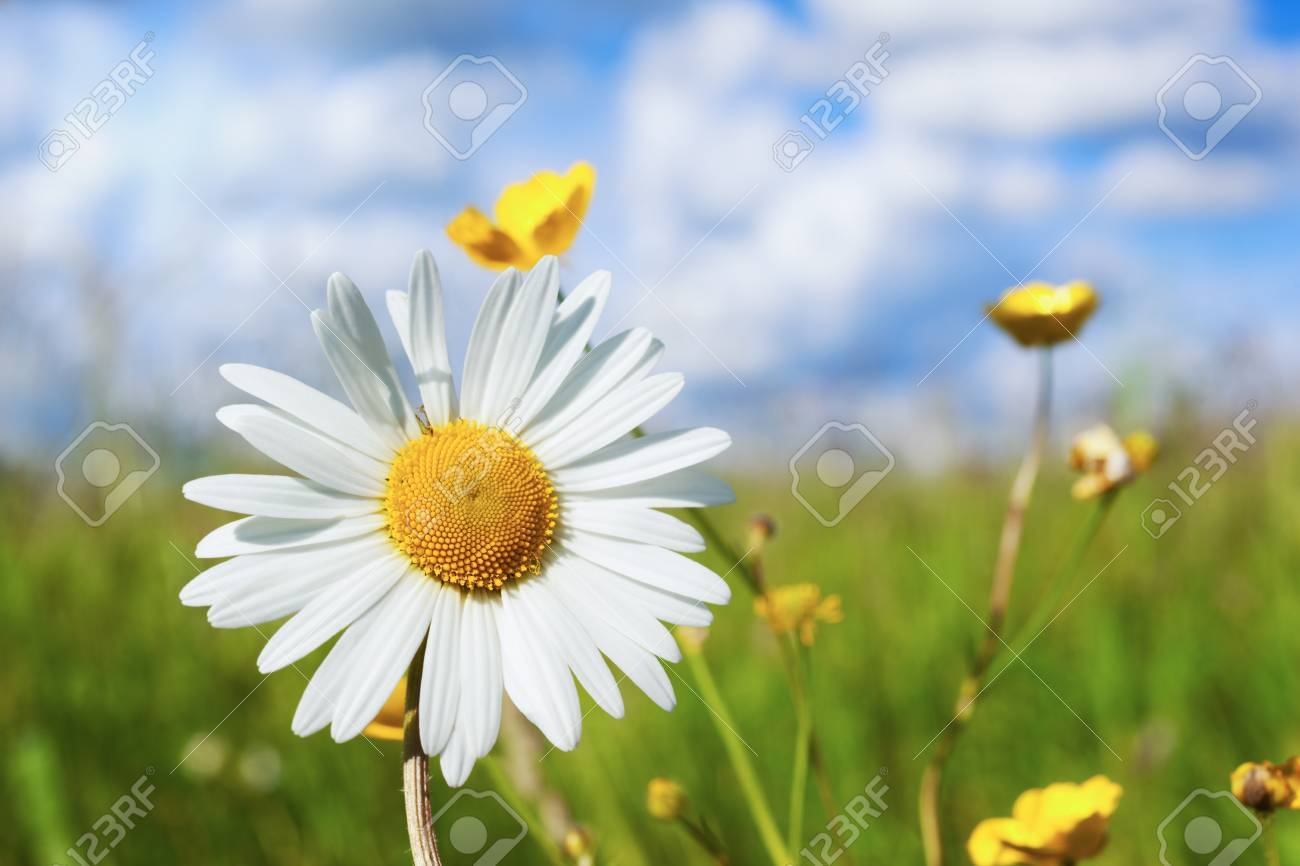 Chamomile Against The Sky A Beautiful Scene Of Nature With Blooming