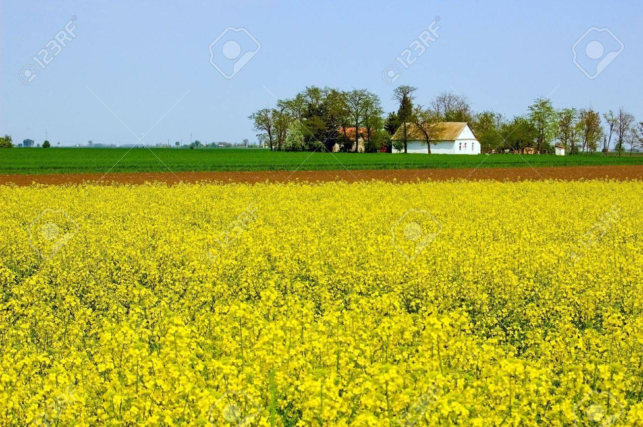 Spring countryside with field of yellow flowers and house on horizon. Stock Photo - 4763963