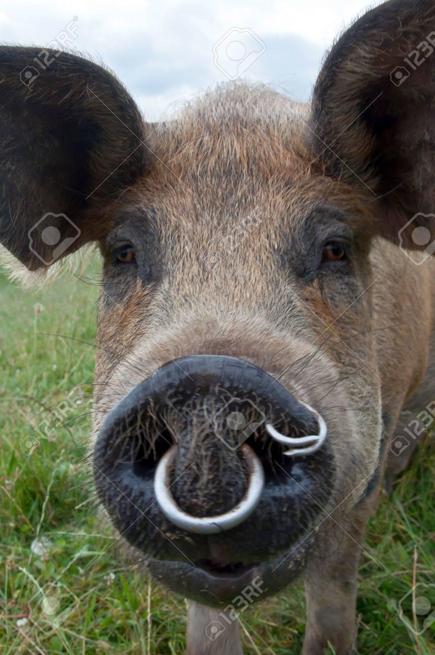 nouveau style check-out belle qualité Groin de cochon avec des anneaux dans d'arrêter de creuser jusqu'à des  pâturages