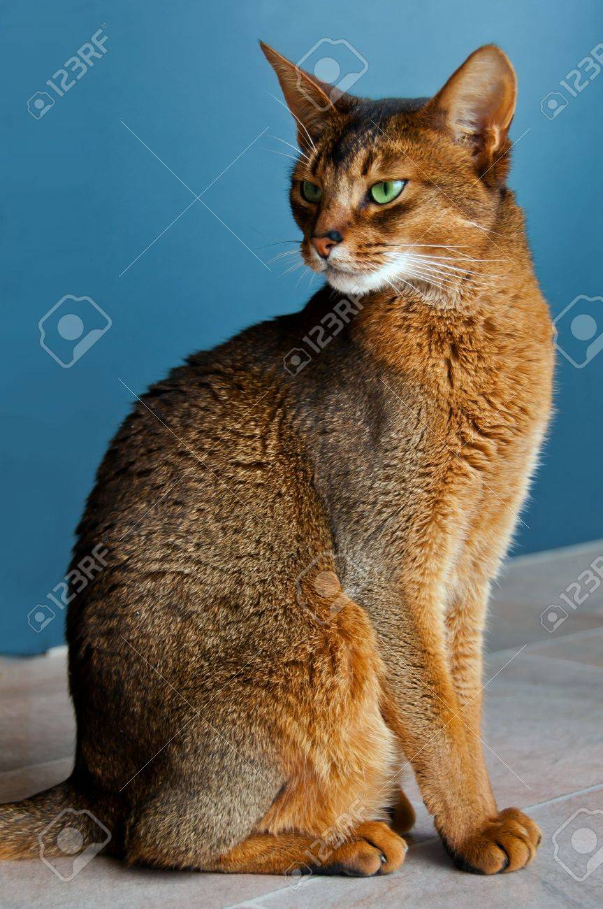 Abyssinian Cat With Green Eyes Stock Photo, Picture And Royalty ...