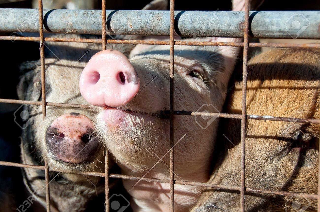 dernière collection sélectionner pour officiel choisir officiel Groin de cochon à travers la porte sur le boîtier