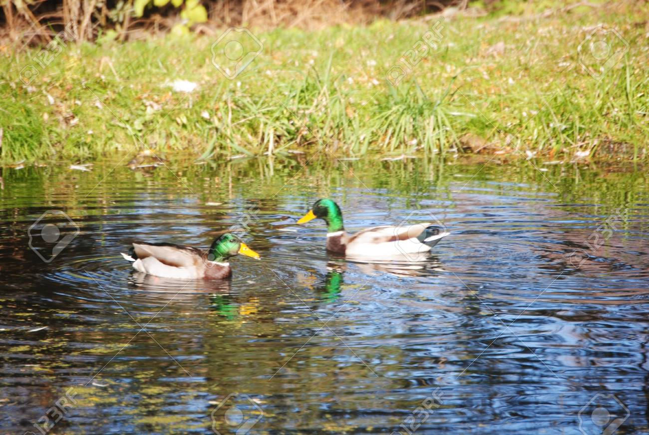 two mallard ducks in a pond stock photo picture and royalty free