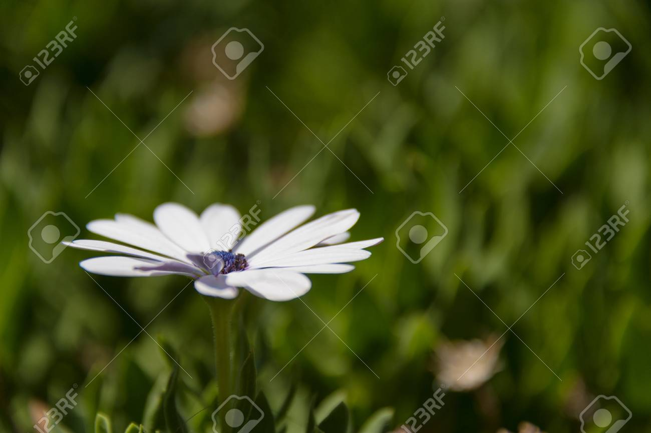 White Daisy Like Flower From Angle With Blured Green Backgrnound