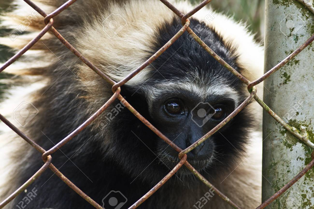 gibbon in the zoo of thailand Stock Photo - 7489664