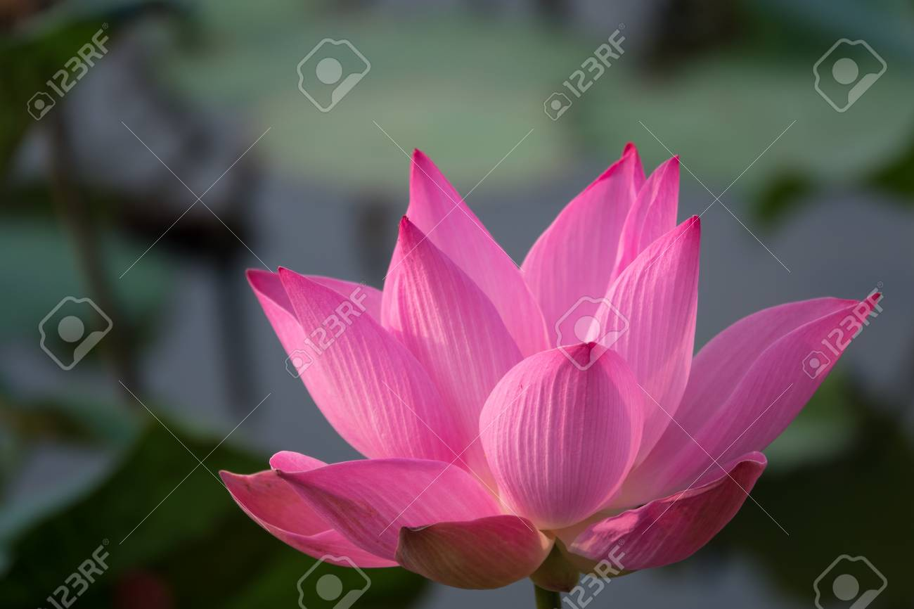 Pink Lotus Flower Royalty Free Stock Photo Beautiful Pink Lotus