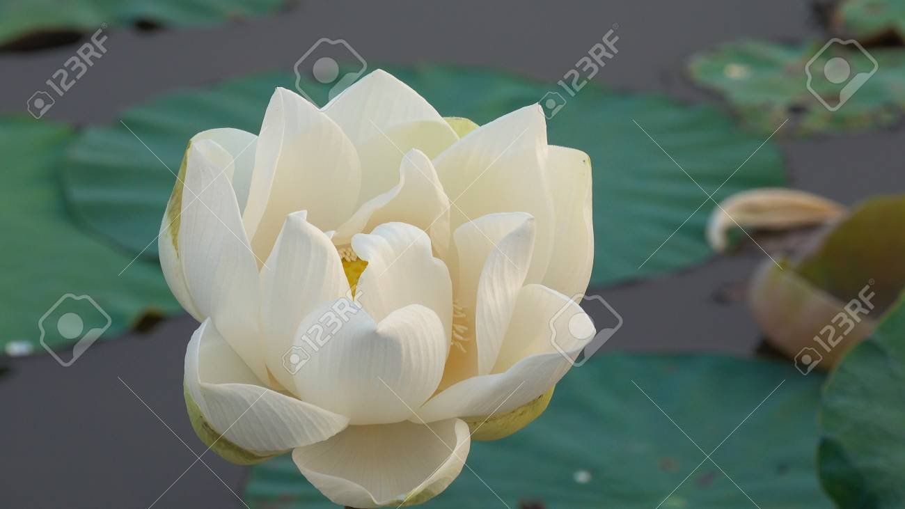 White lotus flower royalty free stock photo in no time the stock stock photo white lotus flower royalty free stock photo in no time the lotus flower is a lotus flower izmirmasajfo
