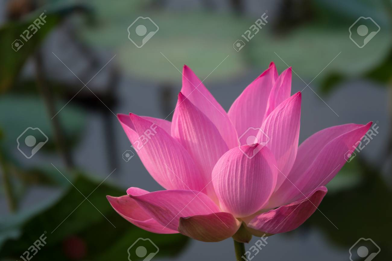 Pink Lotus Flower Royalty High Quality Free Stock Footage Of