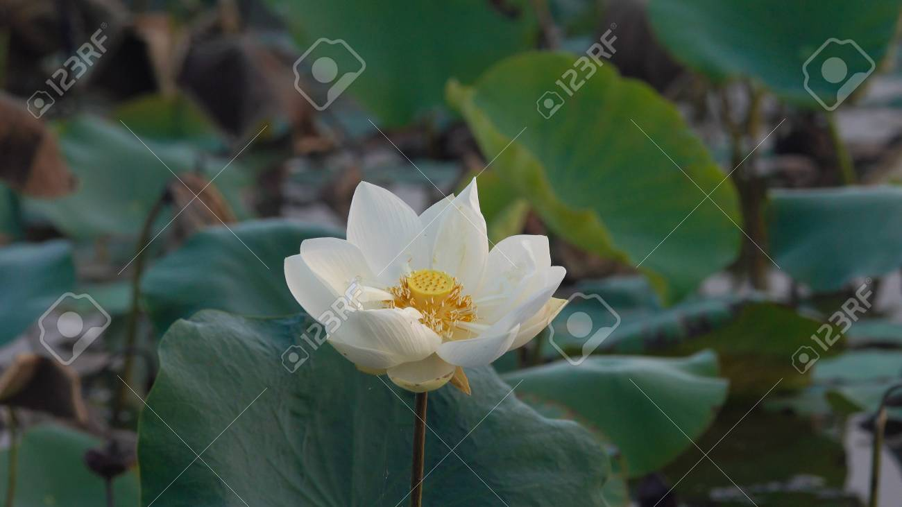 White Lotus Flower Royalty High Quality Free Stock Image Of Stock