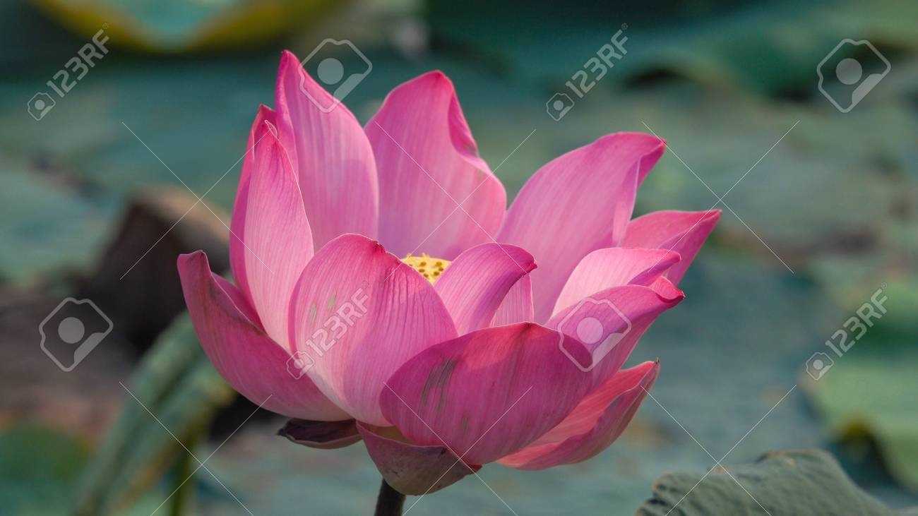 Pink lotus flower royalty high quality free stock image of a pink lotus flower royalty high quality free stock image of a beautiful pink lotus flower mightylinksfo