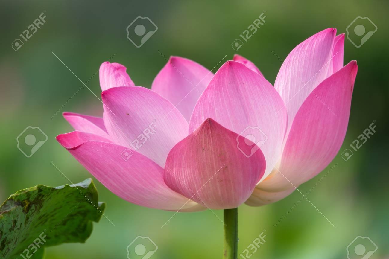 Pink lotus flower royalty high quality free stock image of a pink lotus flower royalty high quality free stock image of a beautiful pink lotus flower izmirmasajfo