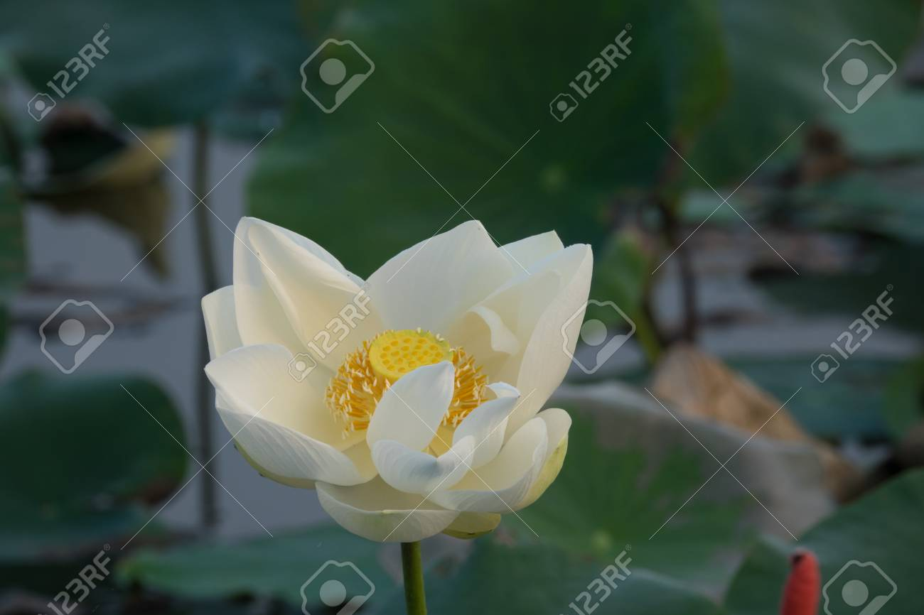 Royalty high quality free stock image of a white lotus flower royalty high quality free stock image of a white lotus flower the background is the izmirmasajfo Choice Image
