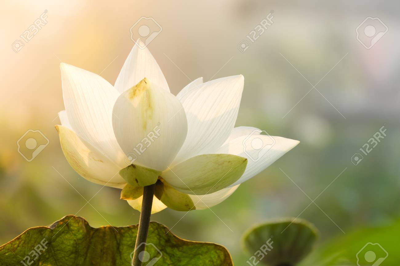 Royalty High Quality Free Stock Image Of A Lotus Flower The Stock