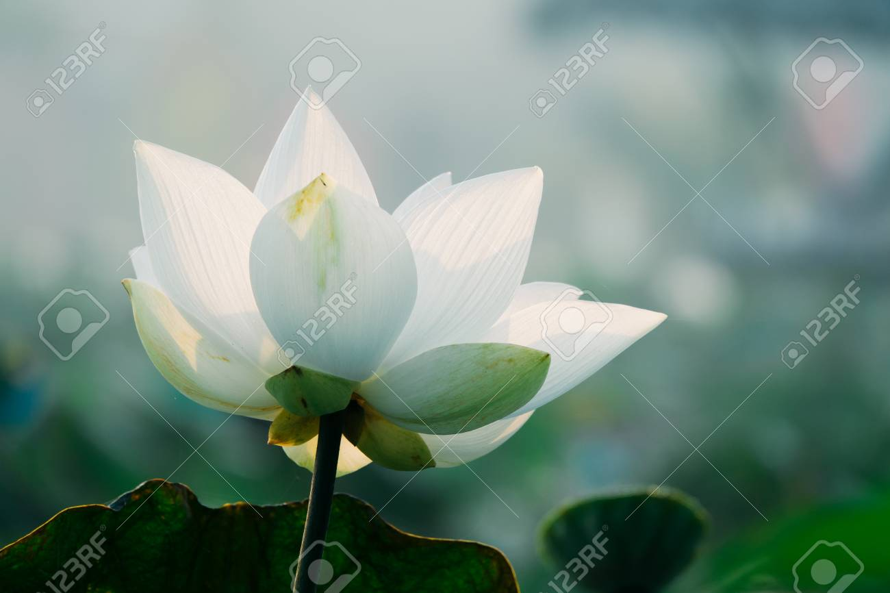 Royalty high quality free stock image of a lotus flower the stock royalty high quality free stock image of a lotus flower the background is the lotus izmirmasajfo