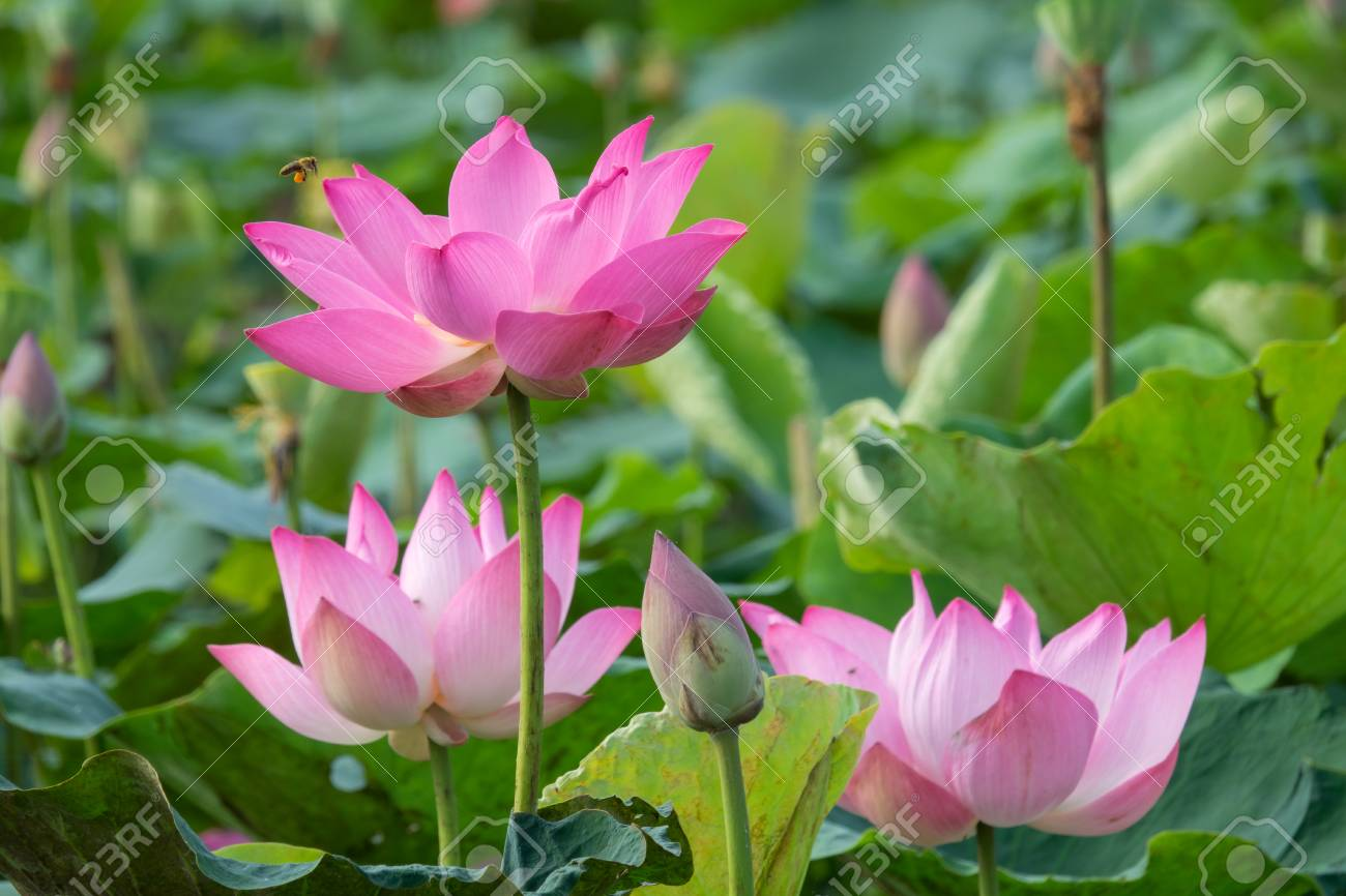 Pink Lotus Flower Royalty High Quality Free Stock Image Of A