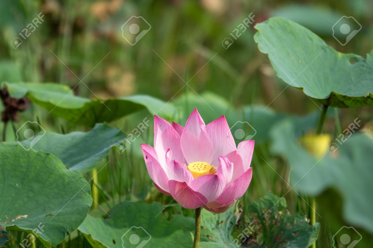 Pink lotus flower royalty high quality free stock image of a pink lotus flower royalty high quality free stock image of a beautiful pink lotus flower mightylinksfo
