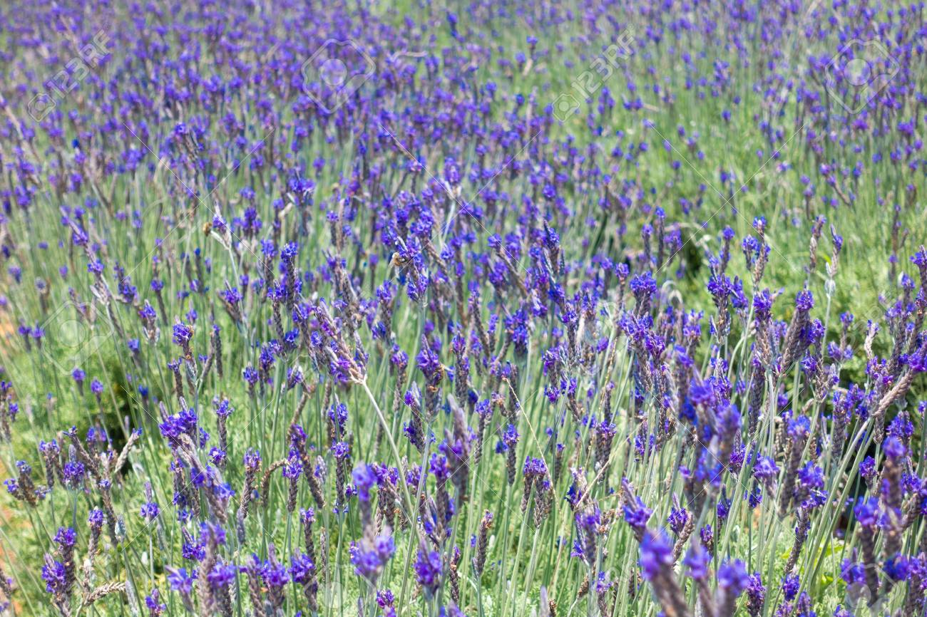 Beautiful lavender flower field stock photo of lavender flowers beautiful lavender flower field stock photo of lavender flowers field in sunny day cau izmirmasajfo