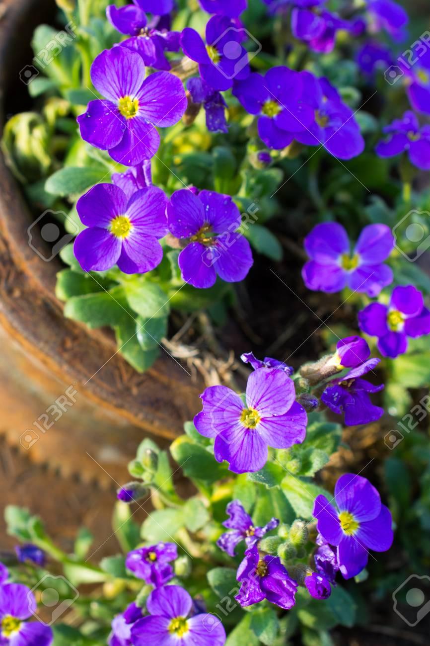 Piccoli Fiori Viola.Immagini Stock Piccoli Fiori Viola In Giardino Profondita Di