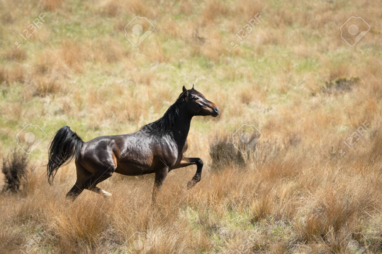 A Black Kaimanawa Wild Horse Running On The Red Tussock Grassland Stock Photo Picture And Royalty Free Image Image 143895971