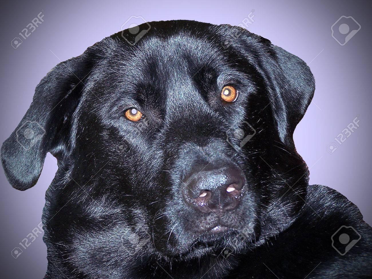 Close up of black labrador retriever dog face Stock Photo - 26007502