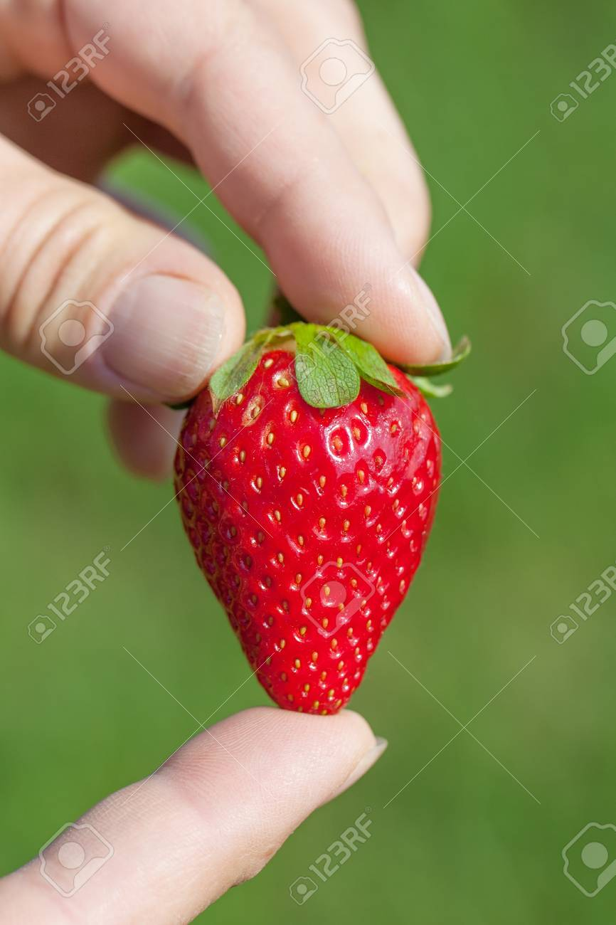 Fresh and ripe strawberry in hands Stock Photo - 17241844