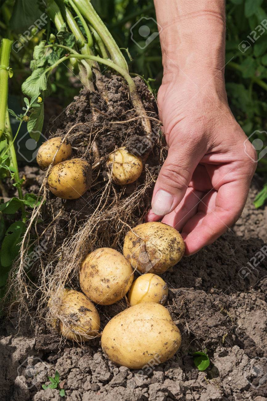 Harvesting New Potatoes In Hobby Garden. Stock Photo, Picture And ...