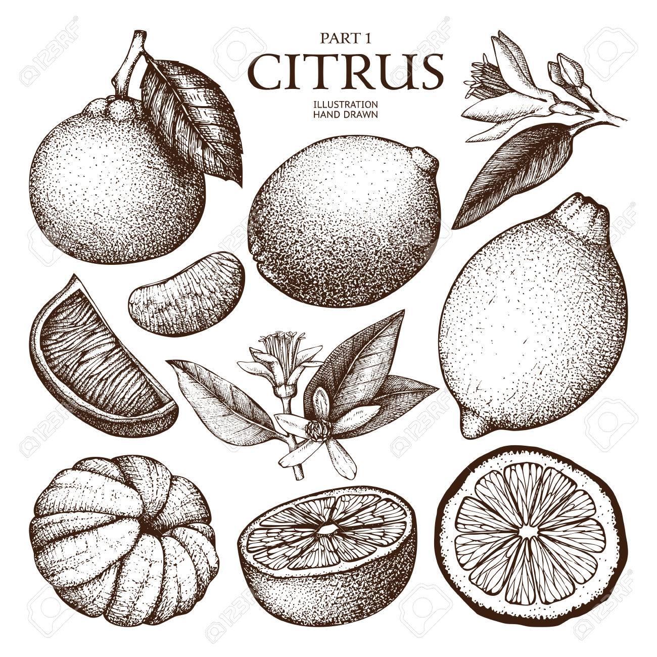 Ink hand drawn citrus plants sketch - 74950675