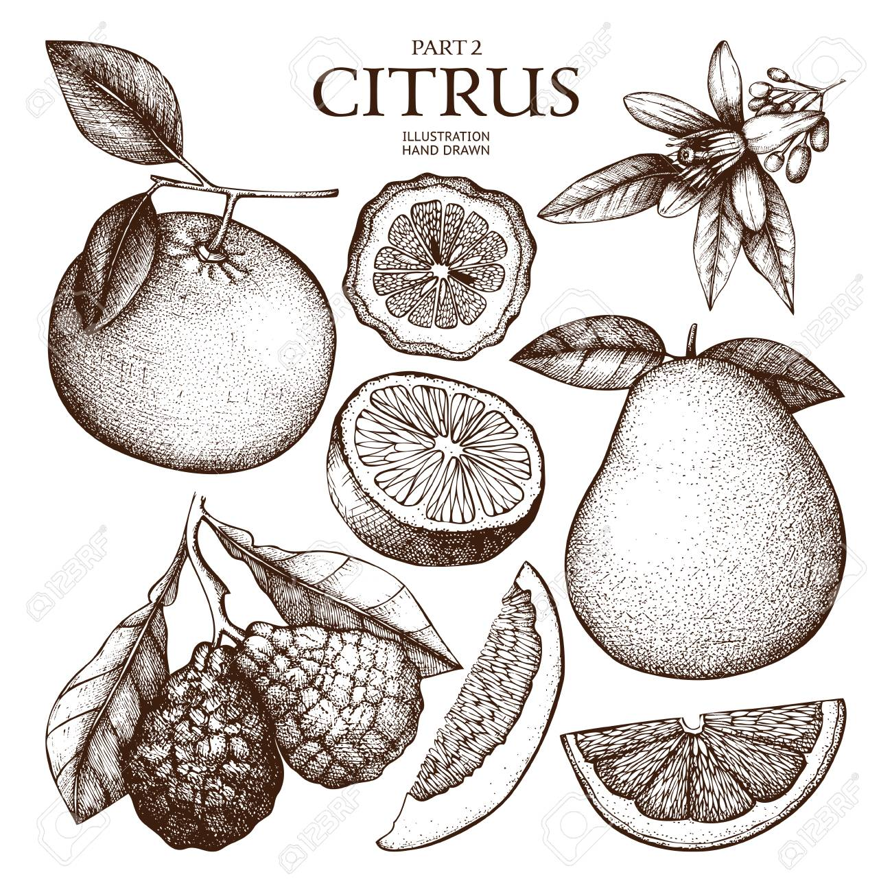 Ink hand drawn citrus plants sketch - 74950676