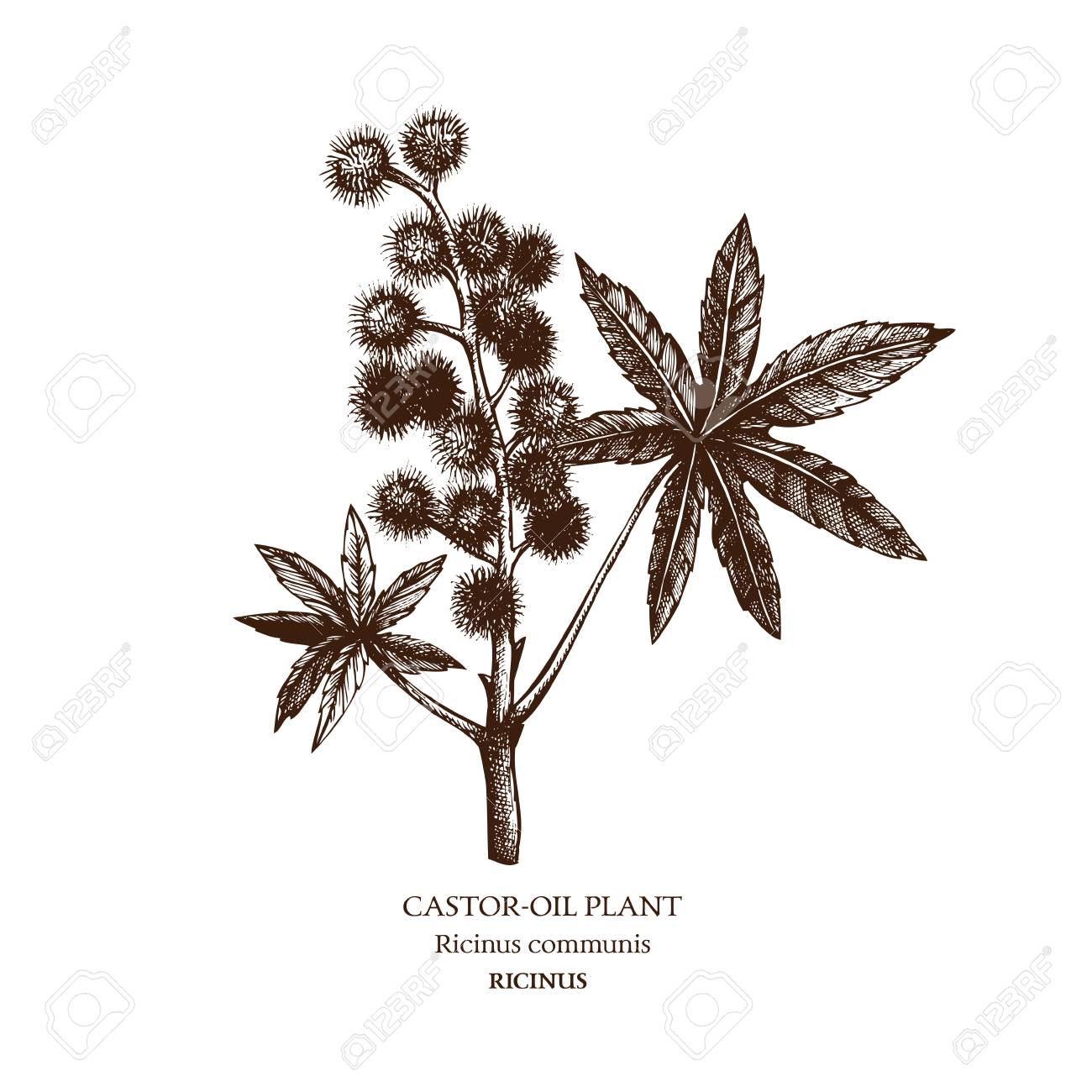 Botanical illustration of Castor oil plant. - 77521899