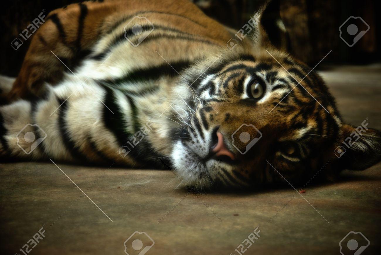 relax tiger image   free download gamefree download game