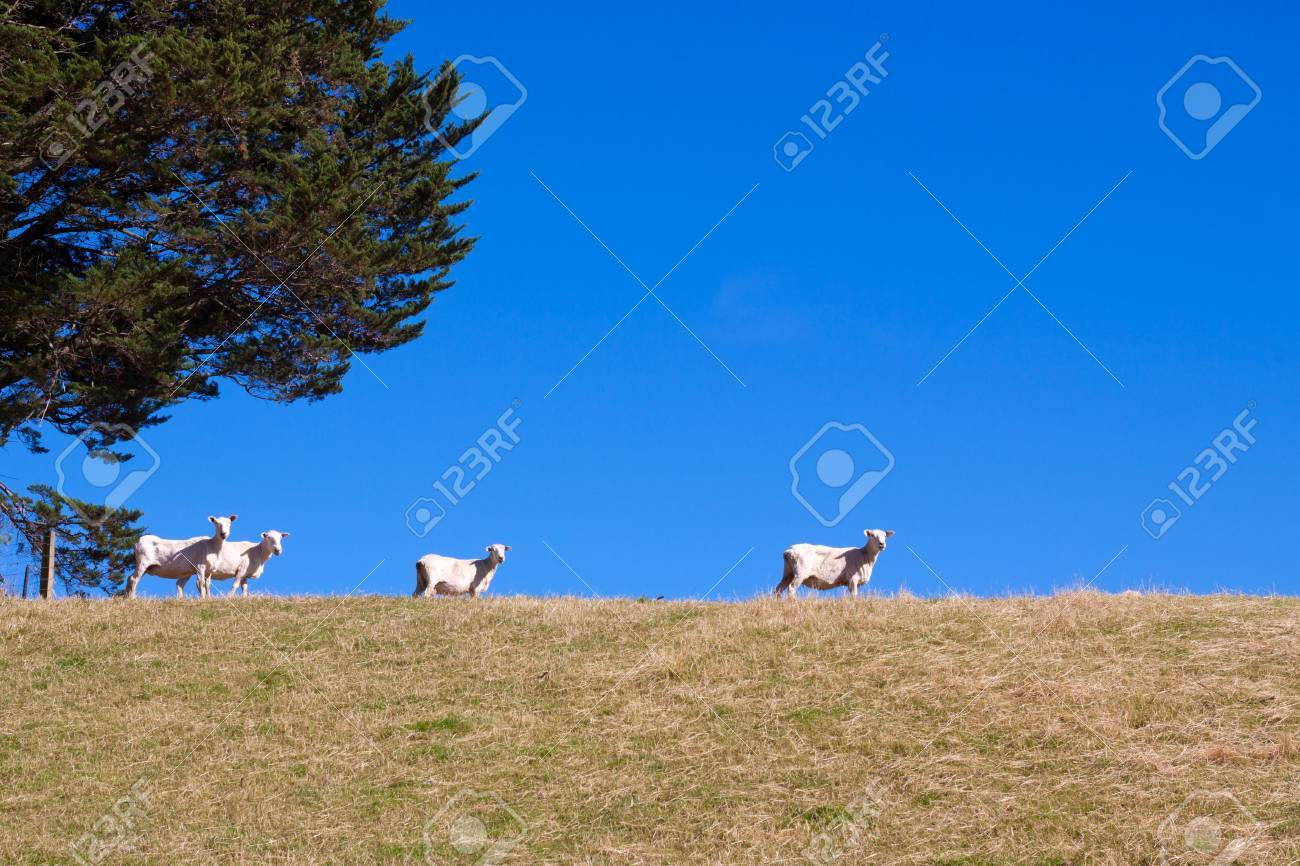 Sheared sheep on meadow over bright blue sky. Stock Photo - 9802842