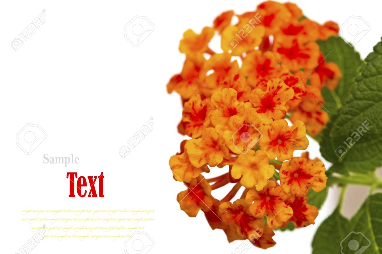 Beautiful flower (Lantana camara) isolated on white background. Stock Photo - 17490399