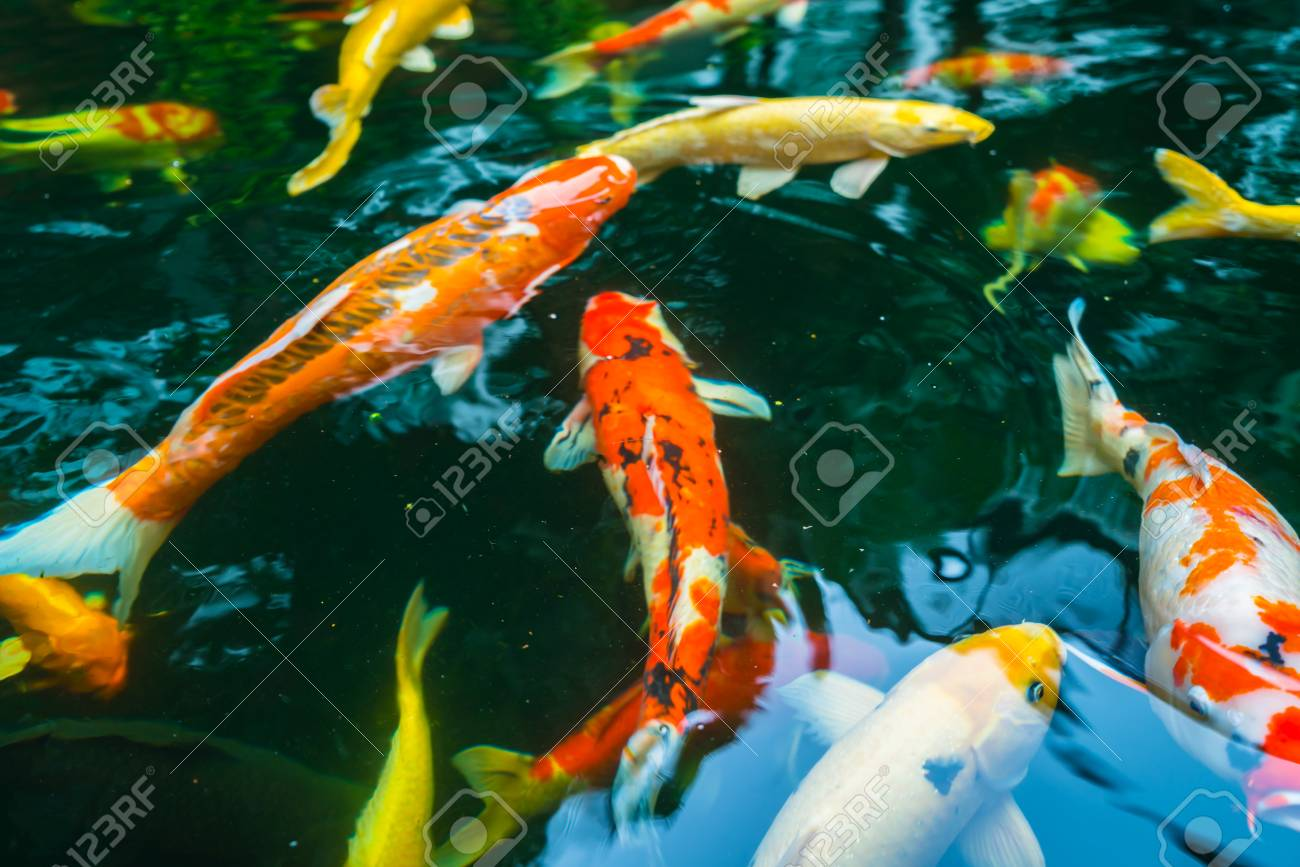 Colorful Koi Fish Swimming In Water Stock Photo, Picture And Royalty ...