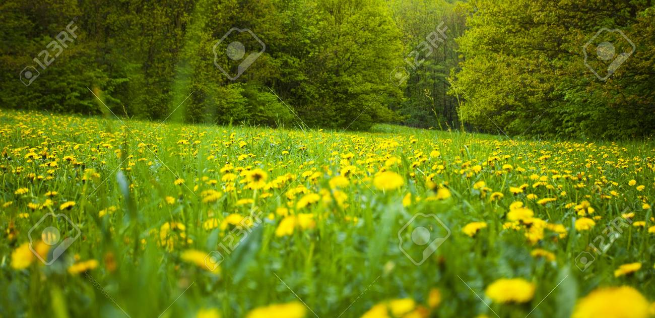 background field of dandelions in the woods Stock Photo - 7181463
