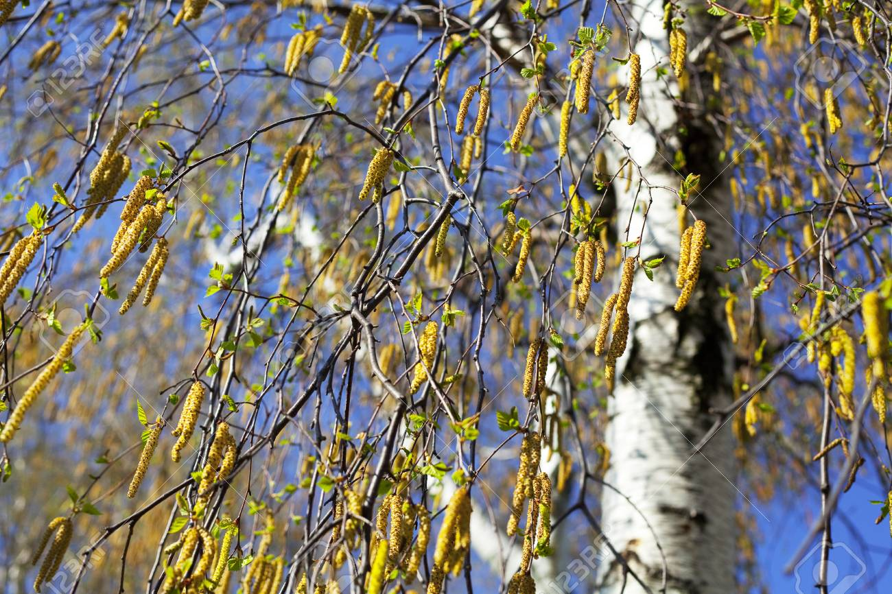birch against the blue sky Stock Photo - 7200713