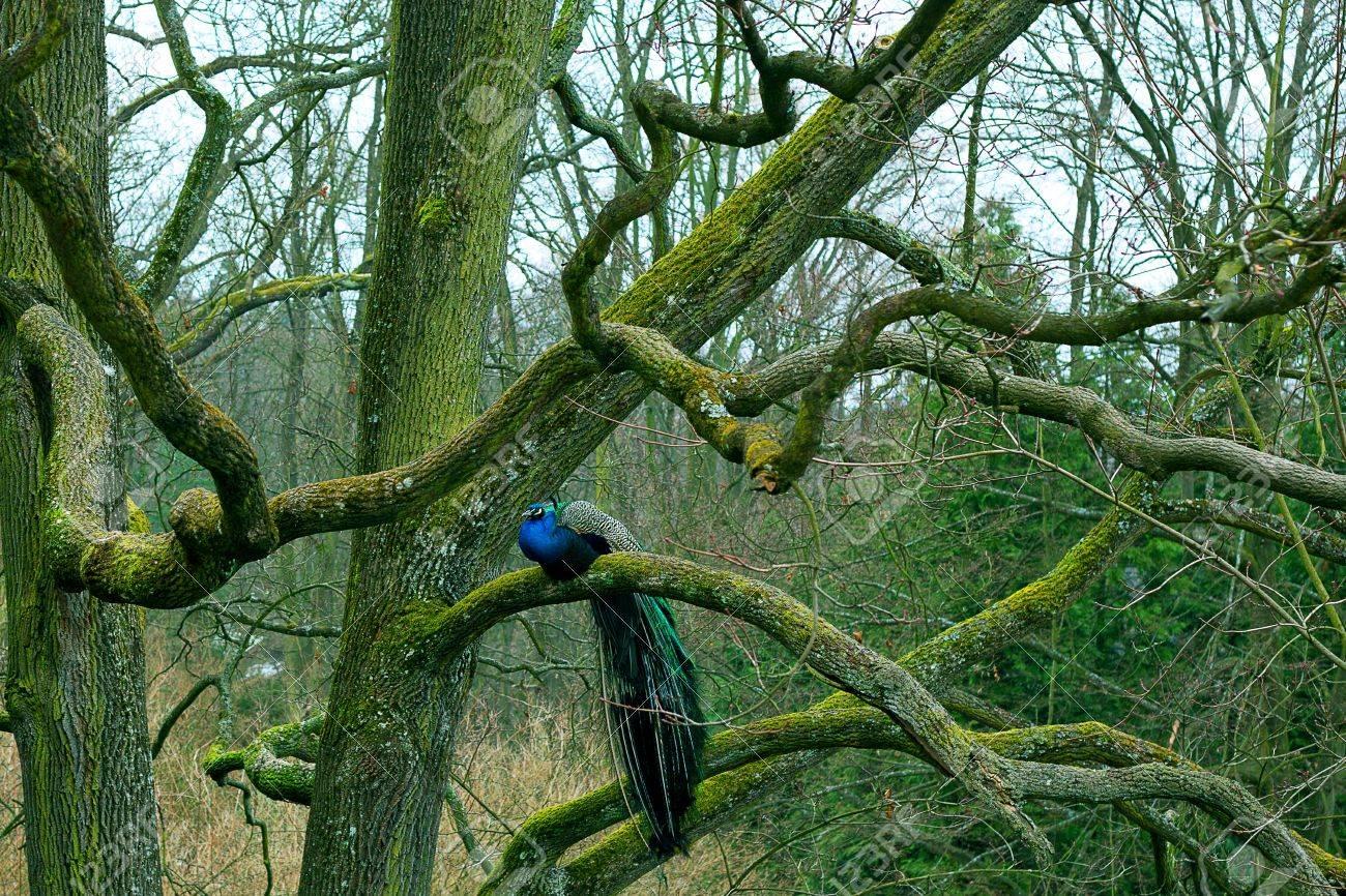 peacock sitting on a tree branch in autumn park Archivio Fotografico - 8941620