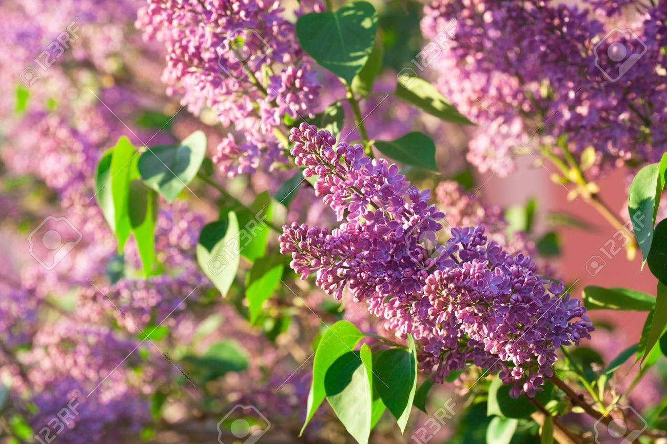 bushes of a blooming spring lilac - 9528227