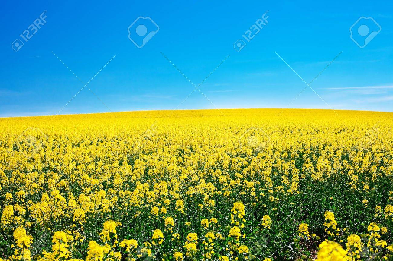 field of yellow rape against the blue sky - 9880237