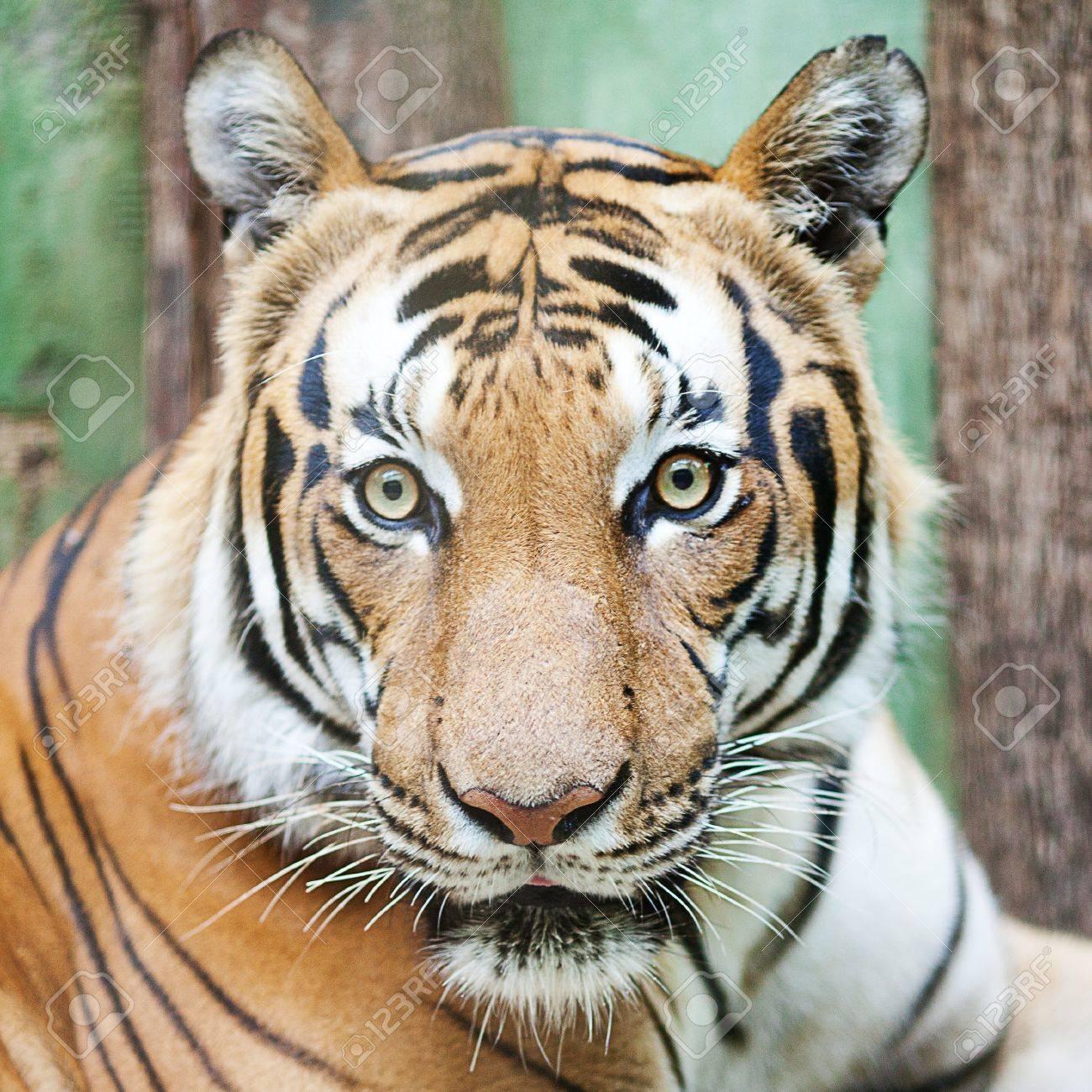 beautiful big tiger in a zoo - 10617971