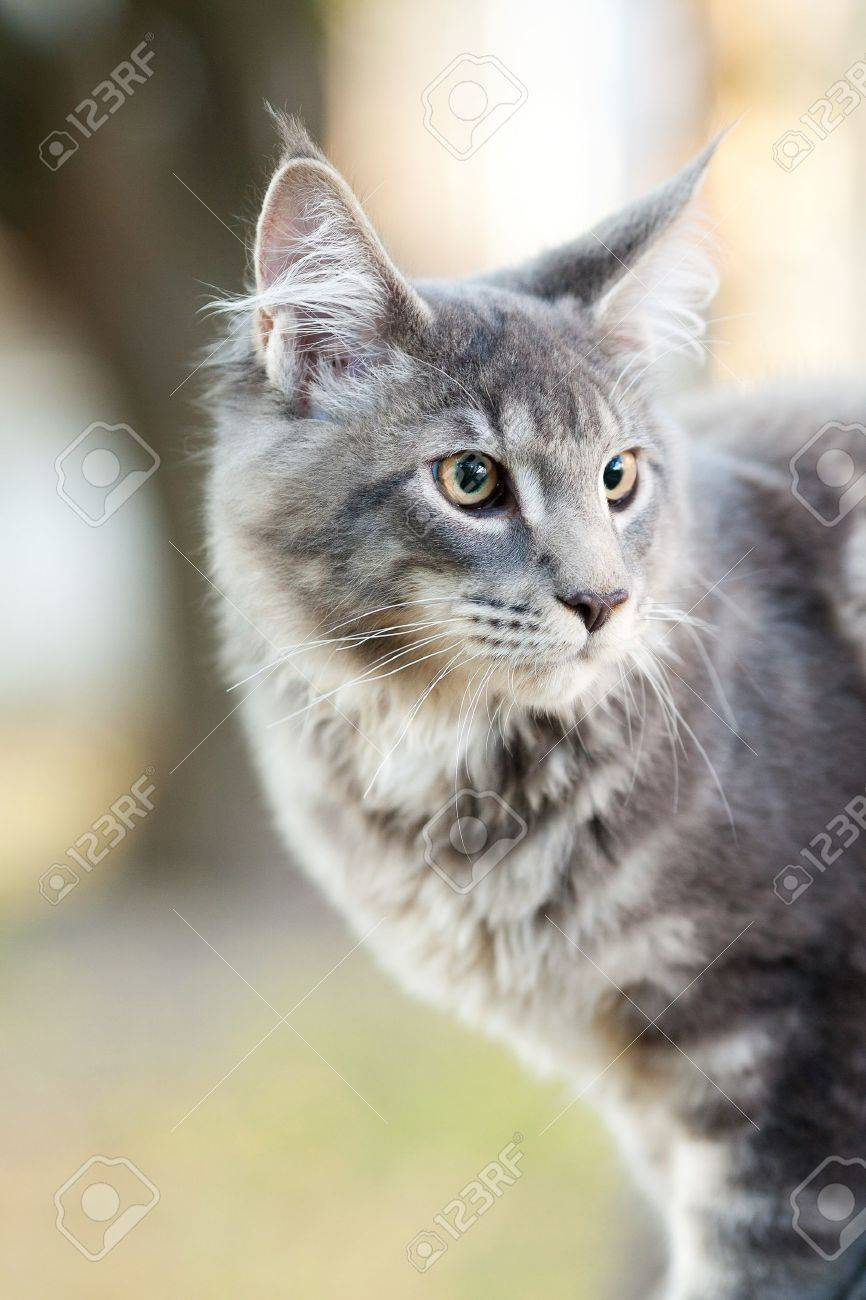 beautiful striped maine coon cat in nature - 10856946