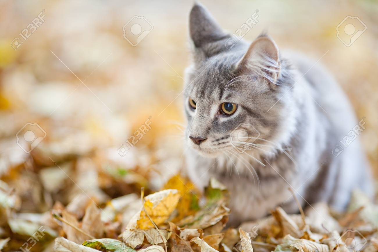 beautiful striped maine coon cat in nature - 10856934
