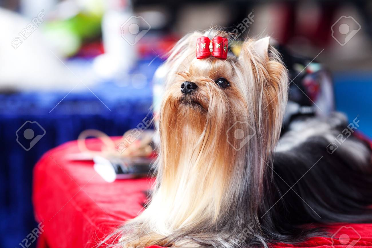 Portrait of Yorkshire terrier with bow sitting on a table - 15127919