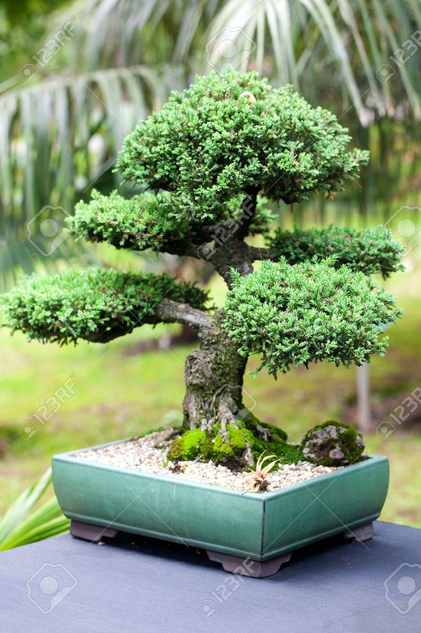 Beautiful Juniper Bonsai In A Botanical Garden Stock Photo Picture And Royalty Free Image Image 18817221